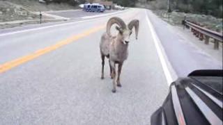 【爆笑】ちょwwどけよww  クルマに恋しちゃった羊が 路上でガチな求愛ダンスしてるだが…