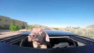 【爆笑】犬の快適なドライブのはずが..風が強すぎて空気抵抗にやられちゃうw
